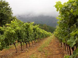 verdant vineyard